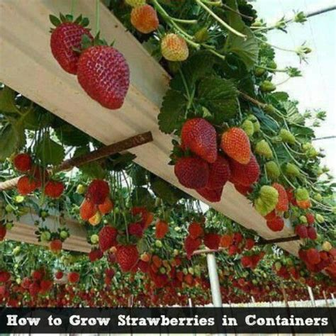 How To Plant Strawberries In A Strawberry Planter 25 best ideas about growing strawberries in containers on