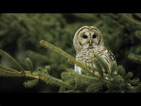 voices barred owl cornell clip60