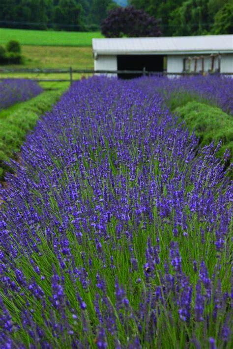 hardy lavender plants grow herbs and flowers in growing lavender hgtv