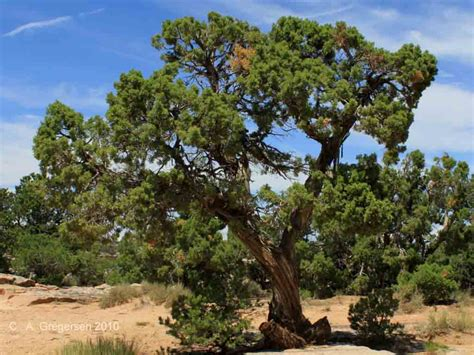 juniper tree images foothills zones plants and trees