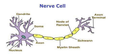 nerve cell diagram charts charts diagrams graphs