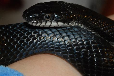 Lepaparazzi News Update Ricci And In Black Snake Moon by Update Black Rat Snake Shed Graphic Photo Warning
