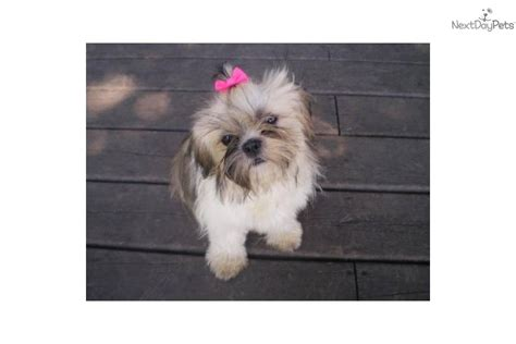 tiny shih tzu puppies shih tzu puppy for sale near grand rapids michigan 8a32b2b0 a961