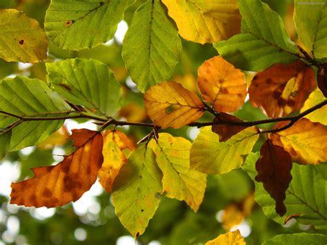 imagenes de hojas otoñales hojas de oto 241 o fondos de pantalla hojas de oto 241 o fotos
