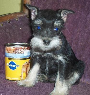 miniature schnauzer puppies for sale in missouri puppies for sale miniature schnauzer miniature schnauzers schnauzers f