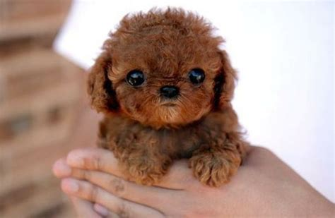 what is a shih tzu poodle mix called what breed is this teddy puppy gracie lu shih tzu