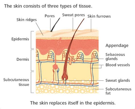 diagram of the dermis stina s skin shaders and finishing the stina the
