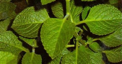 manfaat daun jintan sebagai obat tradisional obat