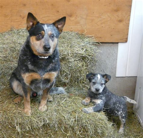 blue heeler blue heeler pictures to pin on pinsdaddy