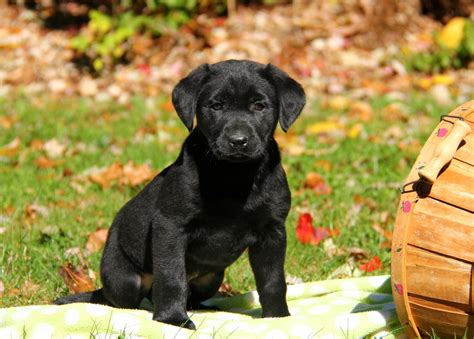 black lab puppies for sale in md black labrador puppies for sale in pa greenfield puppies
