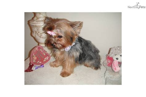 buy tiny teacup yorkie teacup yorkie puppies for free adoption dogs puppies pets breeds pets world