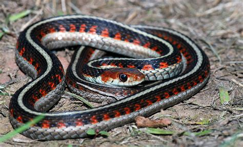Gardener Snake by 9 Weirdest And Rarest Endangered Species Of Animals Around