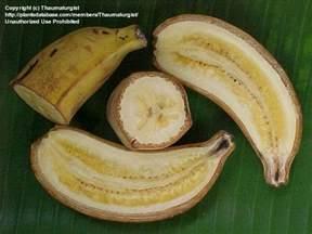 banana rajapuri seeds gardeners corner the friendly