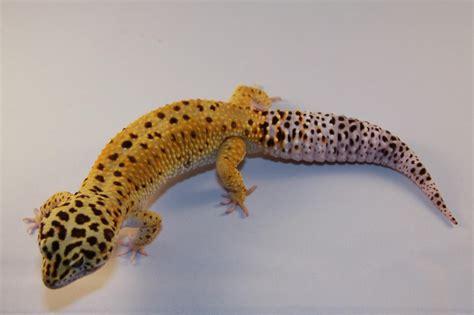 leoparden deko leopard geckos for sale leopard geckos