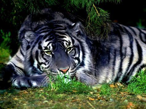 Blue Tiger file blue tiger jpg