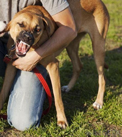 biting owner what are the most common uses for a penicillin