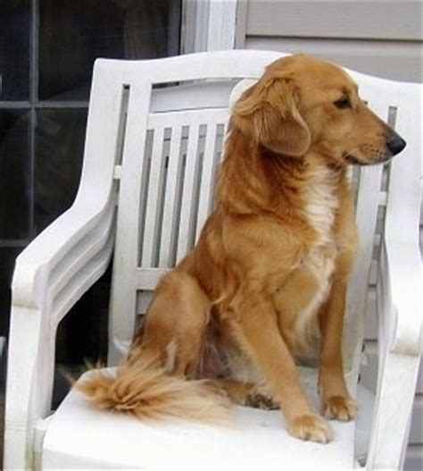 beagle golden retriever beago breed information and pictures