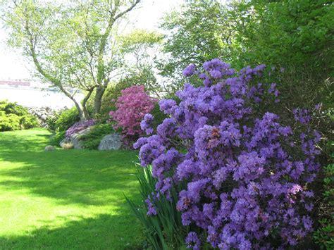 patio rhododendron garden rhododendron gardens