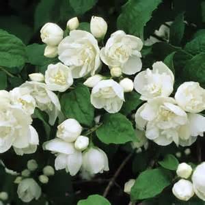 best 25 white flowering shrubs ideas on pinterest