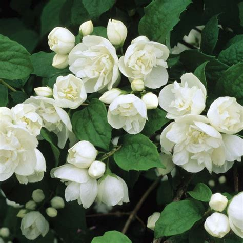 shrub with small white flowers in best 25 white flowering shrubs ideas on