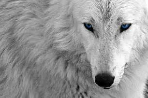 White Wolf Wallpaper   wallpaper.
