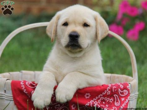 puppies for sale in pa 1000 ideas about labrador for sale on fox