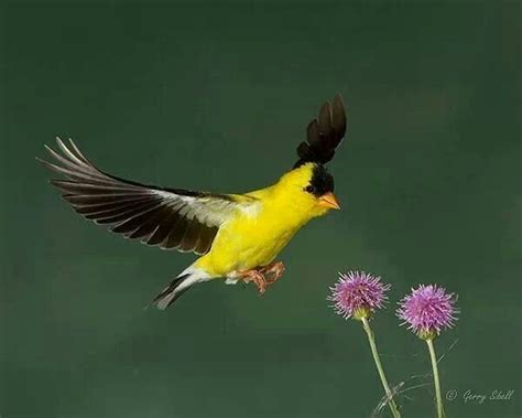 state bird of iowa natural world pinterest iowa us