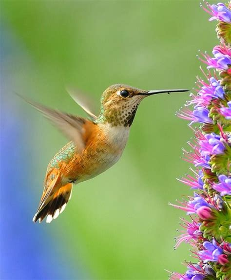pin by jane higginbotham on hummingbirds pinterest