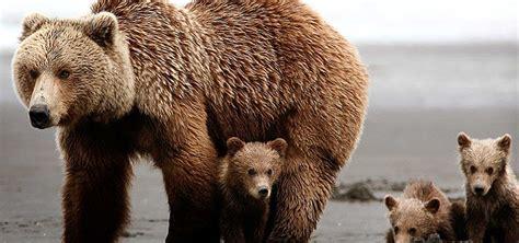 imagenes de osos fuertes image gallery oso grizzly