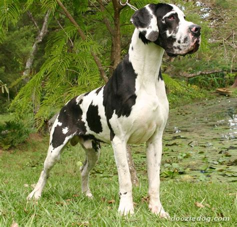 great dane puppy pictures great dane 3 jpg