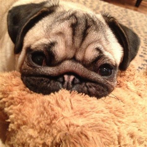 pug squishy 17 best images about squishiness on posts puppys and pug