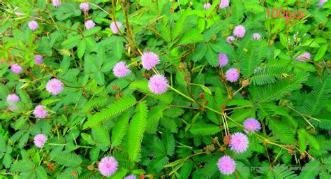most difficult plants to grow mimosa plant 100 what is a foliage plant propagating