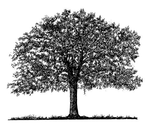 oak tree drawing tree drawings cliparts co