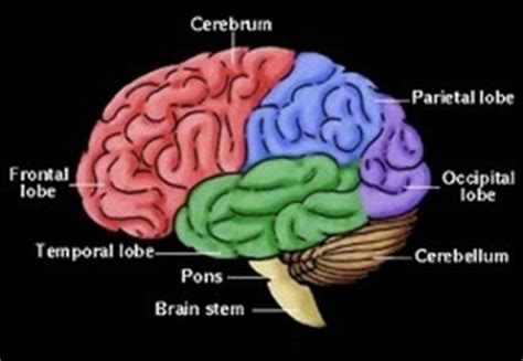3 main sections of the brain pics for gt 3 brain parts