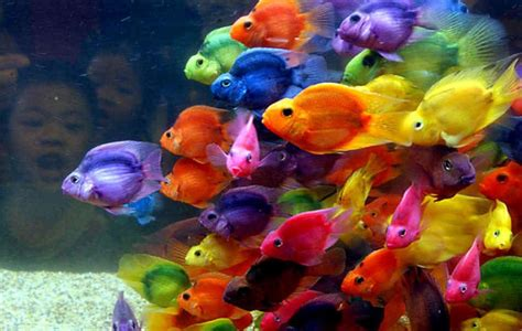 most beautiful colors beautiful and colorful blood parrot cichlid are colored by