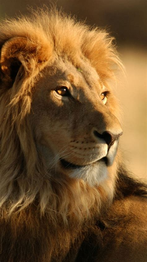 lion wallpapers hd resolution earthly wallpaper p