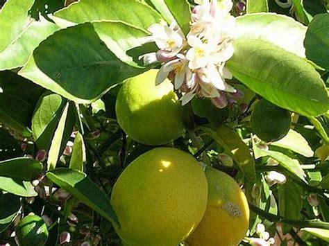 coltivazione dei limoni in vaso la coltivazione dei limoni pollicegreen