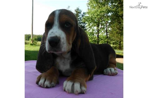 basset hound puppies for sale in missouri basset hound puppy for sale near springfield missouri 3c3a7a2b e0a1