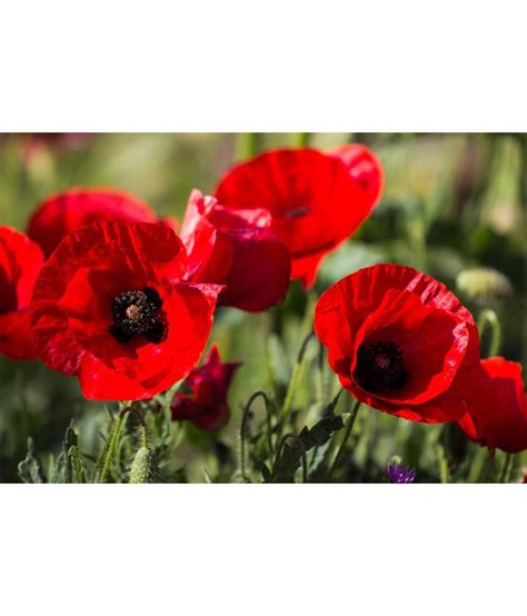 buy greenfield poppy red flowers seeds pack of 3 best prices snapdeal