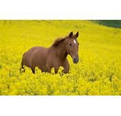 Horse Canola Field Wallpaper  2560x1600 13419