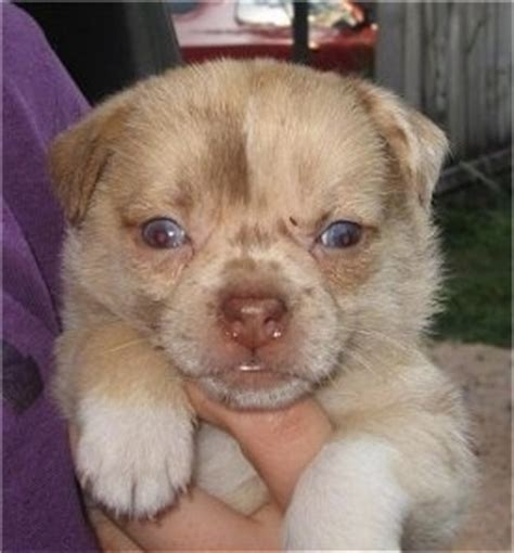 pug pomeranian mix puppies pom a pug breed information and pictures