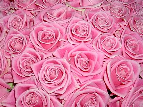 imagenes de flores juntas muchas rosas juntas imagenes gratis