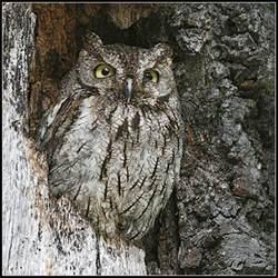western screech owl all about owl