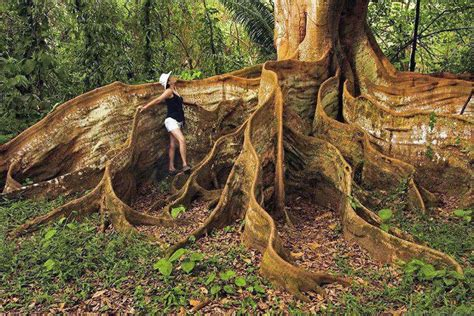 amazing tree amazing tree in costa rica weird world