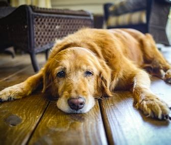 senior golden retriever health issues where s the best place for your senior to stay when you re away