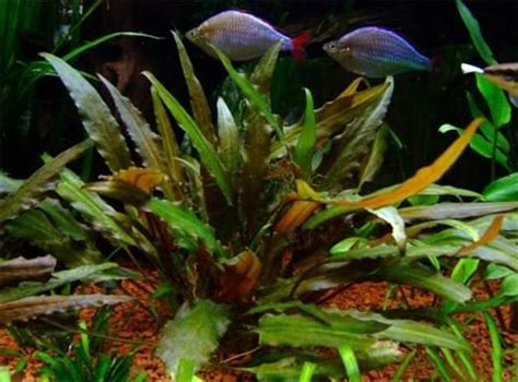 102 best images about cryptocoryne on plants
