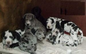 puppies for sale in kalispell mt pets kalispell mt free classified ads