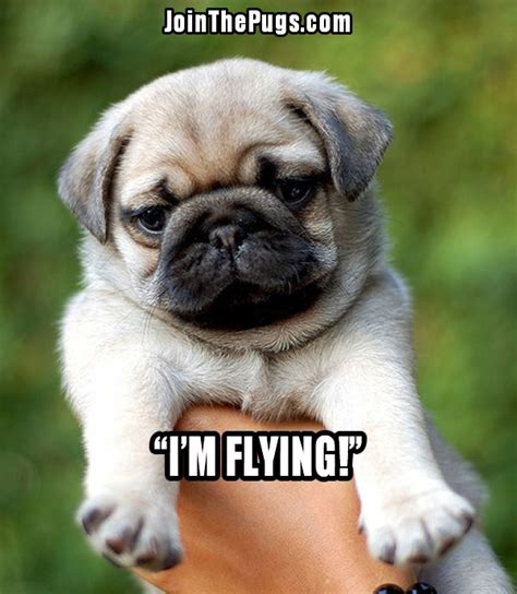 the flying pug join the pugs gt flying pug