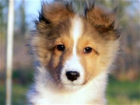 sheltie puppies for sale in nc shetland sheepdog puppies in oklahoma