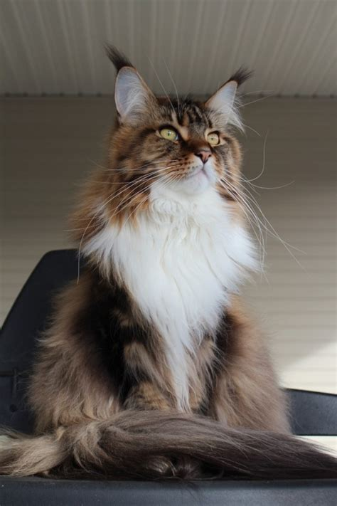 Colors Cat appearance and coat colors in maine coons many